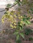 Sambucus williamsii extract