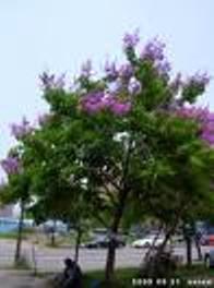 大花紫薇提取物